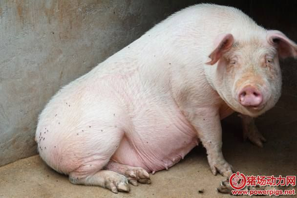 导致母猪受胎率低原因何在?该如何预防?