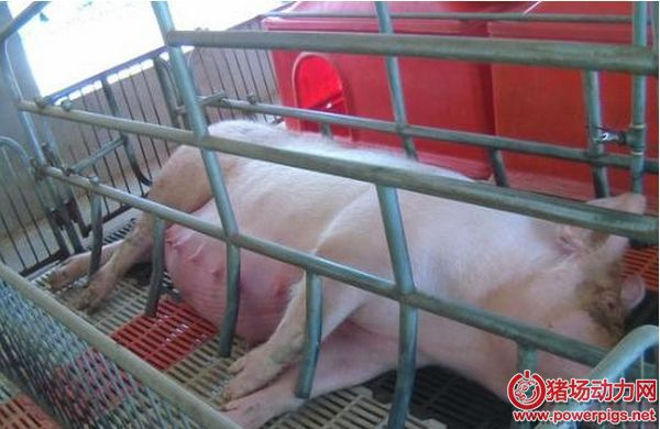母猪难产怎么办?附详细治疗方案