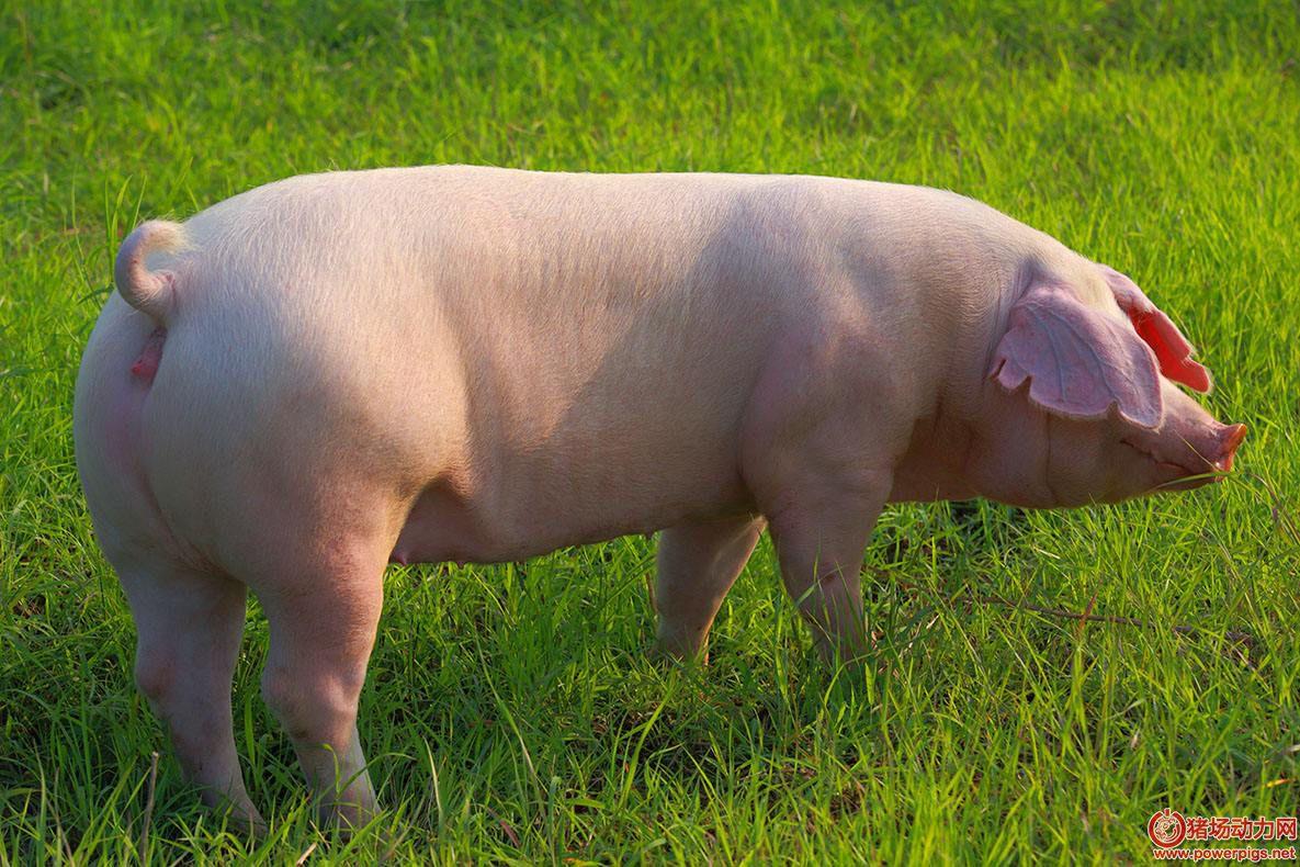 后背母猪是猪场的命根子,不发情咋办?