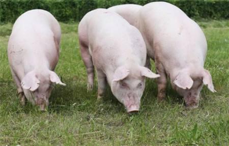 后备母猪(隔离舍)的饲养管理技术操作规程