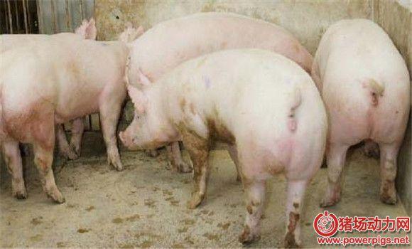 后备母猪诱情管理的12个环节
