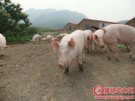 """养猪户必看:母猪引种""""严管五步走"""""""