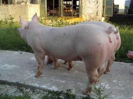 改善饲养这4点,母猪一年多带一窝猪