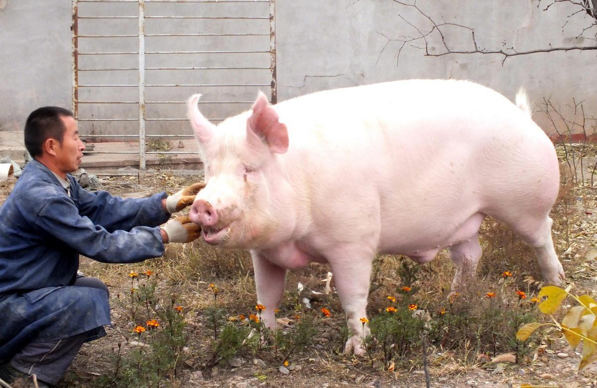 看过来,母猪体温过低的三大内因及实用解决方案!
