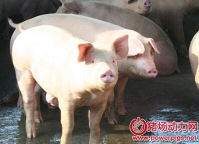 通过第一胎产活仔数可预测母猪终生繁殖性能