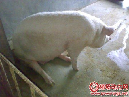 秋季促使母猪多排卵产仔的技术措施