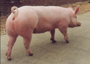 什么样的母猪该淘汰?