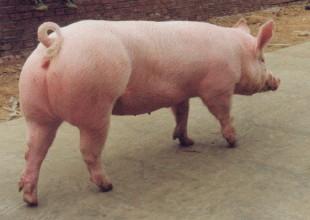 淘汰母猪的原则