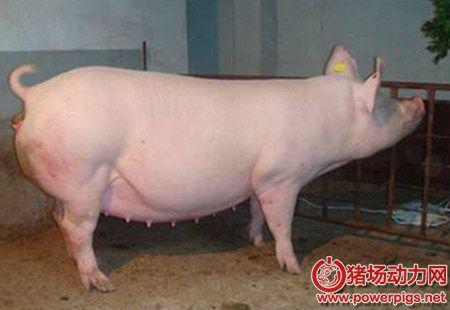 杜绝母猪便秘,你必须知道的事