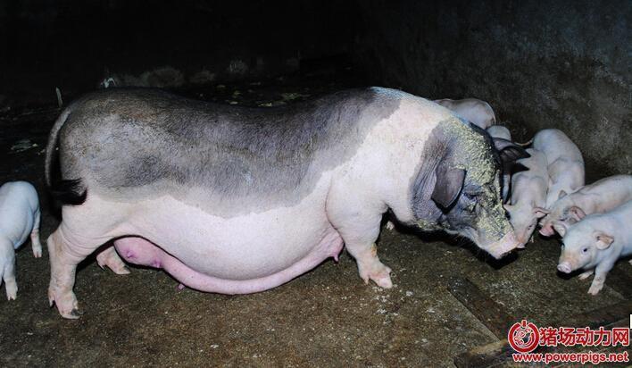 母猪出现二胎综合征怎么办?