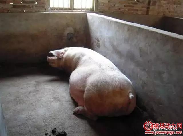 母猪产前不吃料,试试这些方法,屡试不爽