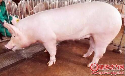 几个小妙招,让你知晓母猪是否怀孕