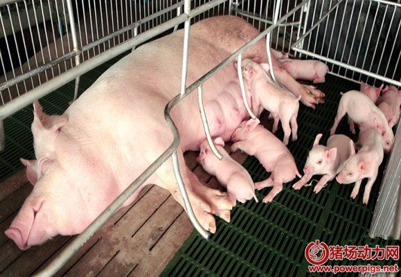 母猪难产,怎么办?
