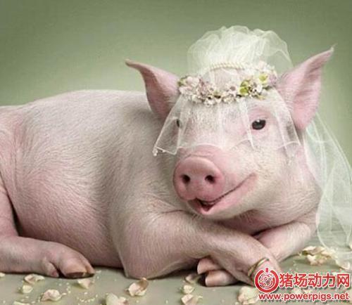母猪屡配不孕的原因分析及防治措施