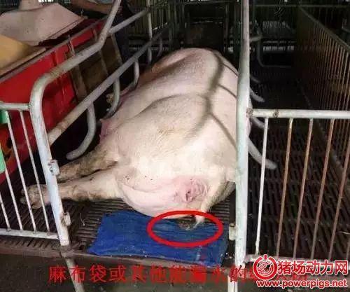 4招轻松判断母猪是否产完,你再也不用熬夜了