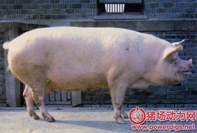 第一胎母猪断奶后就不发情了?这是主要原因。