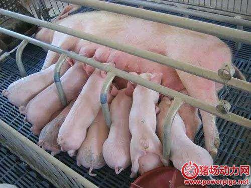 临产母猪破羊水但半天都没有产猪,他是这么做的