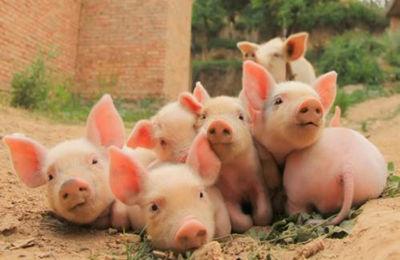 妙招!这样饲喂母猪可以获得高产!