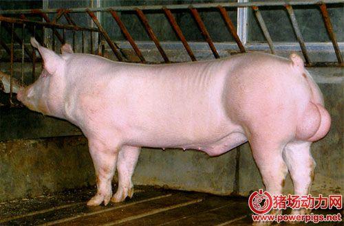 猪人工授精秘笈之公猪精液的稀释