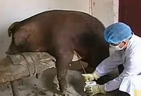 影响猪人工授精效果的各种因素?