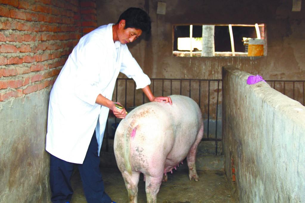 规模猪场人工授精消毒方案应用