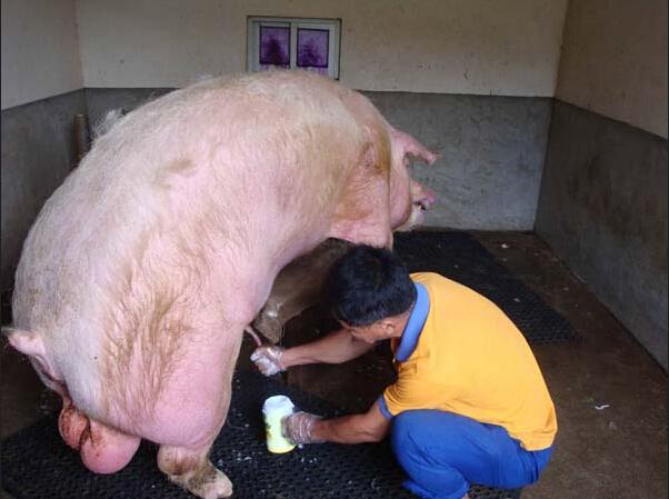 猪场人工授精操作流程