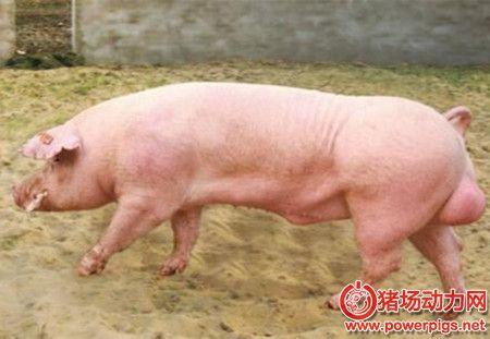 猪精知识普及