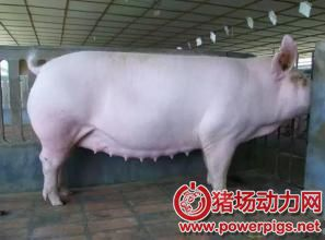 母猪怀孕21天内,不应该做的事!
