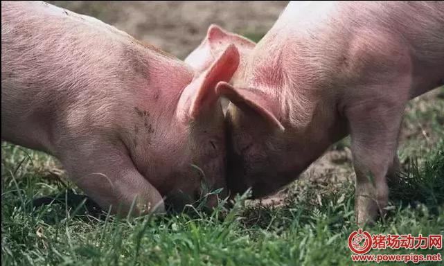 猪人工采精前都有哪些准备,您真的清楚吗?