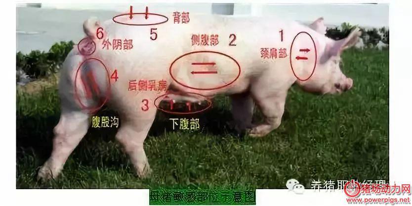 母猪夏季查情配种,要掌握这些要点