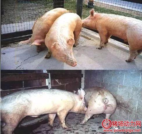 批次生产中空怀母猪的催情程序(值得收藏)