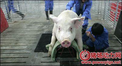 公猪精液采集规范化操作流程