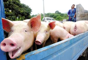 秋季养猪场如何进行催肥出栏