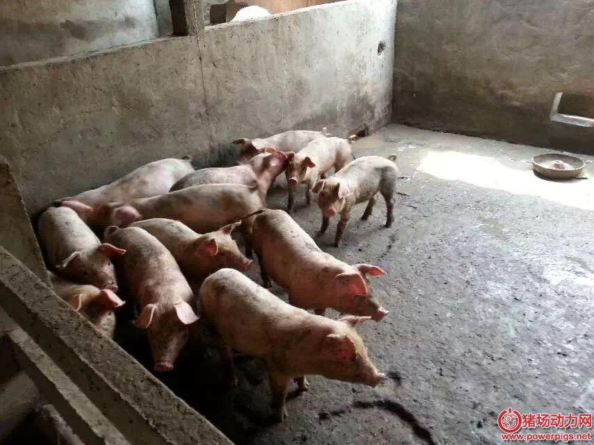 怎样育肥猪才能收到良好的经济效益