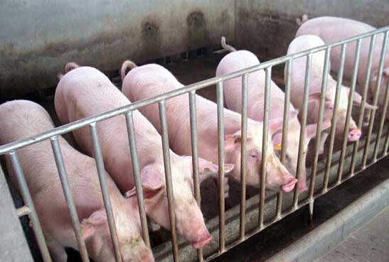 养猪如何直线育肥?
