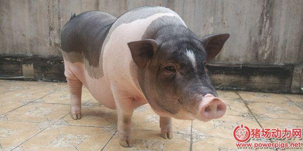 想肥猪年前出栏吗?那就看过来
