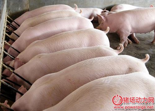 育肥猪饲养管理,99%成活率不是事