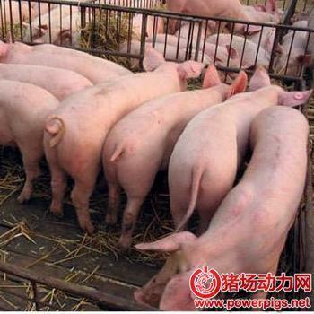 育肥猪,什么时候出栏最佳?