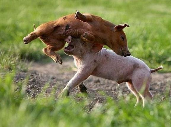 猪咬架是什么原因