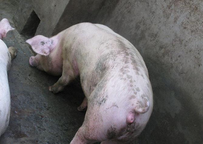 母猪阴户发红的原因分析