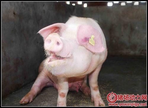 教你轻松辨别24种常见猪病:猪体剖检鉴别诊断依据......