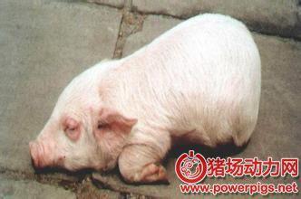 猪中常见疾病及对应防治方法!!