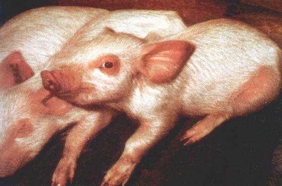 冬季猪喘气病不得不防