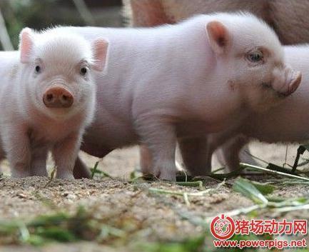 猪常发呼吸道疾病的鉴别诊断