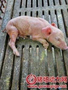 断奶后,仔猪腹泻的原因及防治方案