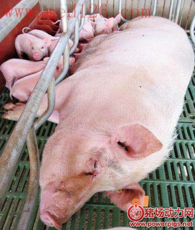 母猪产后瘫痪的防治措施