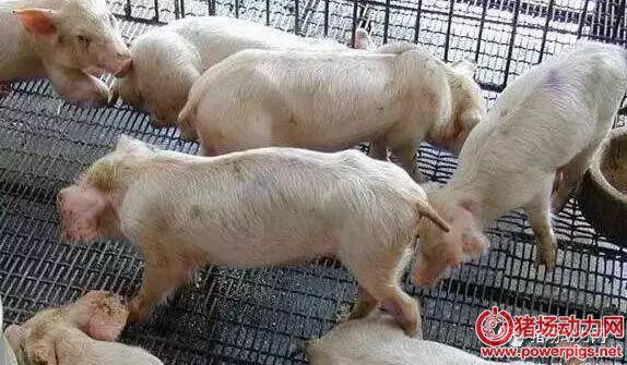 区别副猪嗜血杆菌和链球菌(解剖图)