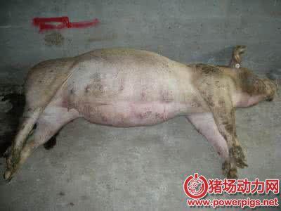 猪胀气死亡的原因,防治措施