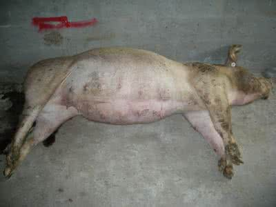 3大原因引起猪胀气,附全套防治方案
