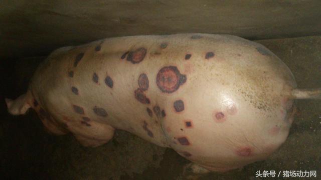 警惕!暴雨洪水后的夏季,猪突然死了,是因为爆发这种传染病
